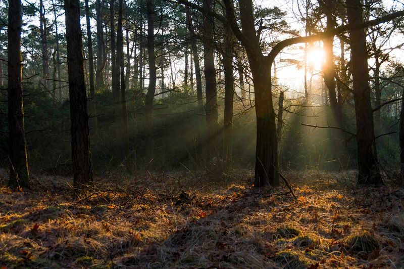 Sunbeam Emitting Through Trees Growing At Forest