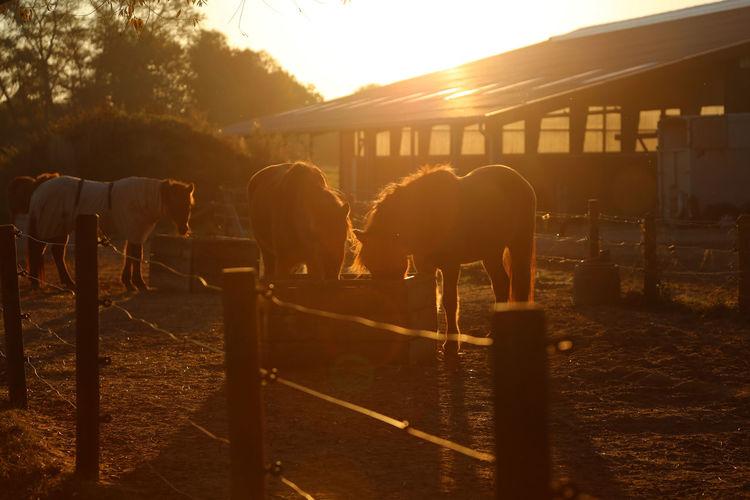 Horses in animal pen
