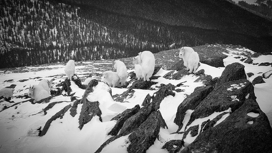 We had visitors on the mountain. 15 mountain goats in total. Mountaingoat Black & White Winter Jasper National Park Whistlersmountain Samsung Galaxy S6 Edge Mobile Photography Wildlife