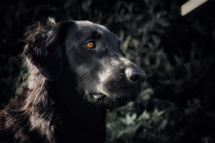 Determined look flatcoated retriever Dog Flatcoated Retriever Determination Eye Animal Photography Animal Lovers