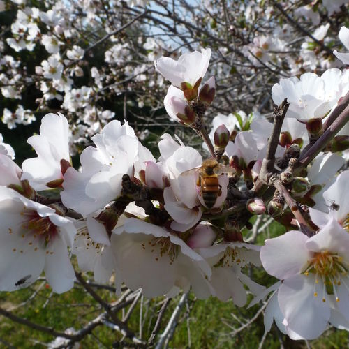 Almond Tree In Blossom Bee Bee Collecting Pollen Bees Blossom Day Nature Spring Tree Tree Blossom White Blossoms On Tree White Flower