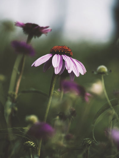 new tone Flowering Plant Flower Fragility Vulnerability  Freshness Growth Plant Beauty In Nature Petal Close-up Flower Head Inflorescence Selective Focus Nature Pink Color No People Plant Stem Day Outdoors Field Pollen Purple Sepal