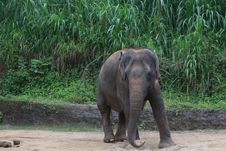 Elephant standing on field