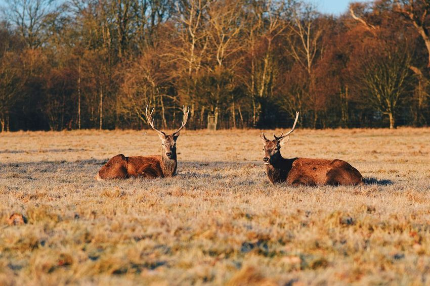 Resting. Animals In The Wild Animal Wildlife Stag Animal Themes Nature Mammal Antler Tree Outdoors Autumn Alertness Grass Beauty In Nature No People Day Deer Landscape EyeEmNewHere