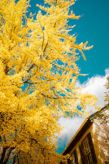 Autumn Beauty In Nature Chinese Ginkgo Tree Close-up Day Ginkgo Ginkgo Leaf Ginko Low Angle View Nature No People Outdoors Sky Tree Yellow The Great Outdoors - 2017 EyeEm Awards