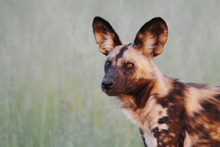 African wild dog Okavango Delta Botswana African Wild Dog Safari Wild Dog Portrait Pets Dog Alertness Close-up Animal Eye Yellow Eyes Southern Africa