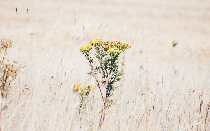 Lonely flower Beauty In Nature Close-up Day Field Flower Flower Head Fragility Freshness Growth Nature No People Outdoors Plant Yellow