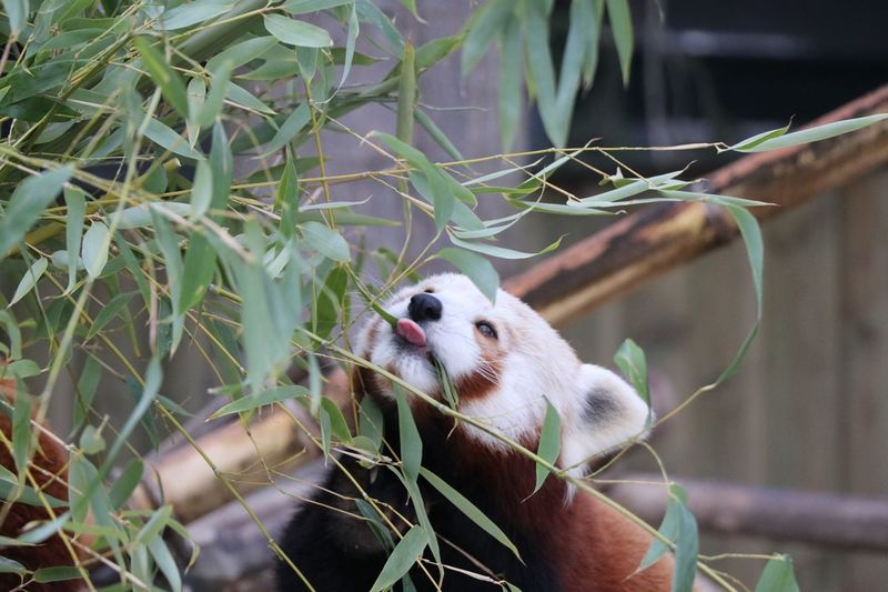 Red panda EyeEm Selects Animal Themes Animal One Animal Animal Wildlife Animals In The Wild Mammal Branch Vertebrate Plant Nature Tree No People Plant Part Leaf Red Panda Day Focus On Foreground Close-up Outdoors Panda - Animal 2018 In One Photograph Moments Of Happiness