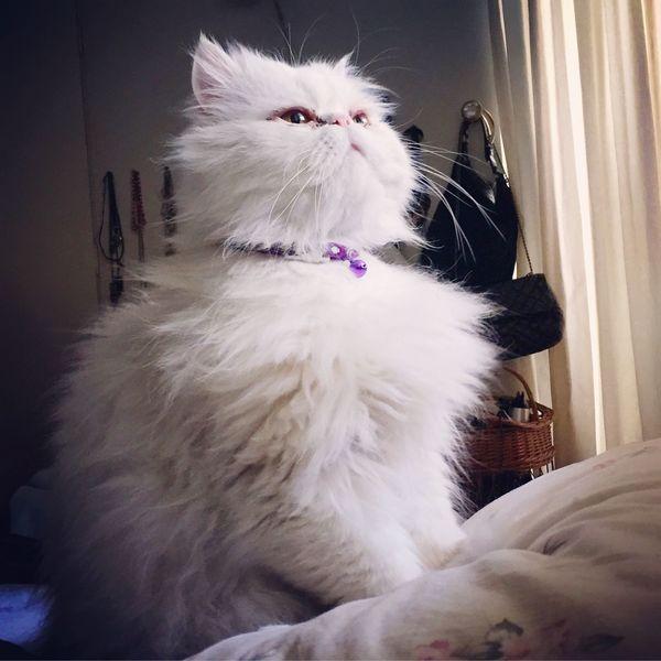 Hairball Chubbycat Persian Persiancat l Lovely Seeking Searchingfor