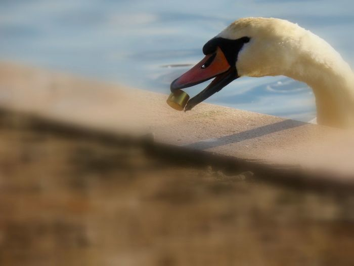 When there's nothing good around to eat! Swan selective focus Birds of EyeEm Bird Animal Wildlife Animal Themes One Animal Close-up Mute Swan No People