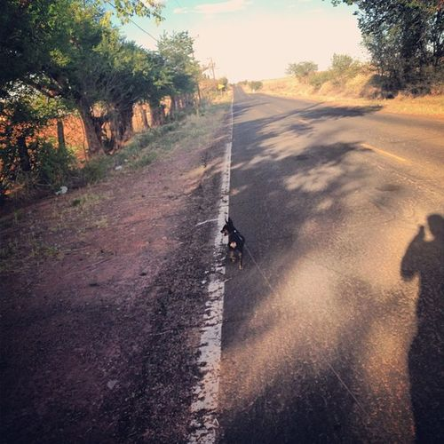 Hunter on another long walk Mclawsrd Mclaws Arizona AZ hunter minpin chihuahua terriermix country countryrd countryroad shadow evening sun trees