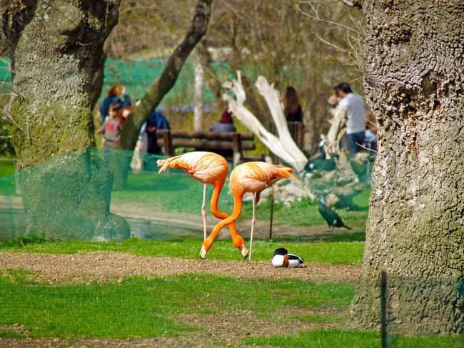 Phoenicopterus - A pair of flamingos on a zoo Animal Animal Themes Animals Beauty In Nature Bird Dog Domestic Animals Fauna Flamingo Grass Love Mammal Nature One Animal Outdoors Pair Pairs People Pets Pink Romantic Wild Wildlife Phoenicopterus