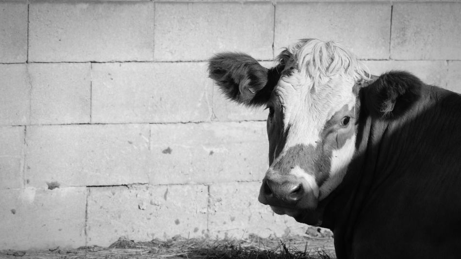 Animal Themes Swedish Nature Beauty In Nature Showcase September 2016 September Niklas Sweden Björkvik Animals Cow Focus On Foreground BYOPaper! The Week On EyeEm Perspectives On Nature Black And White Friday