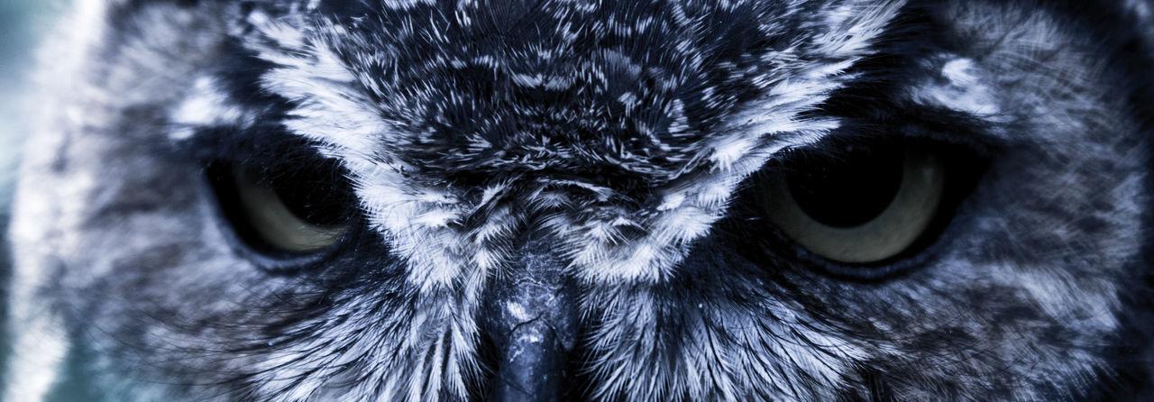 Animal Body Part Animal Eye Animal Head  Animal Themes Animal Wildlife Animals In The Wild Beak Bird Bird Of Prey Close-up Day Eyeball Eyesight Looking At Camera Mammal Nature No People One Animal Outdoors Owl Portrait Yellow Eyes