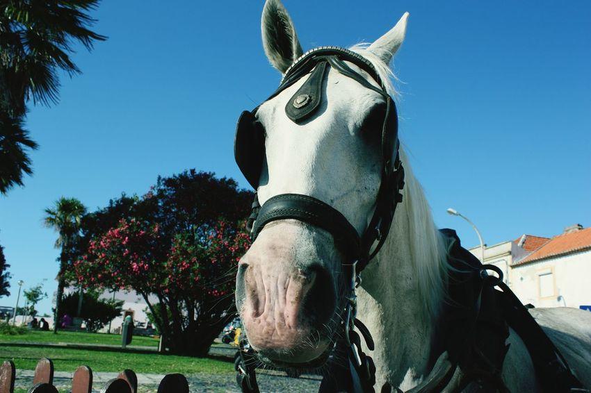 Cavalo Horse Portugal Tauromaquia Cavalo Horse Riding Horse Photography  Horse Life Horses
