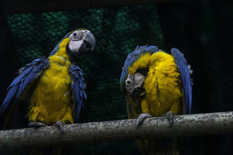 Low Angle View Of Gold And Blue Macaws Perching On Pipe
