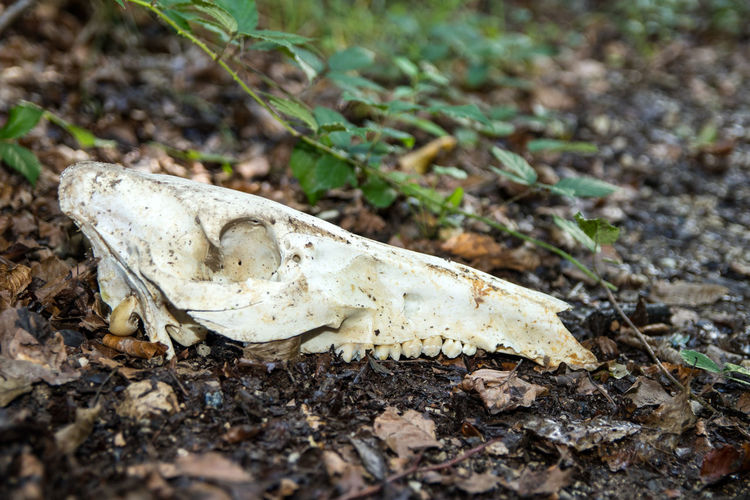 Close-up of animal skull on field