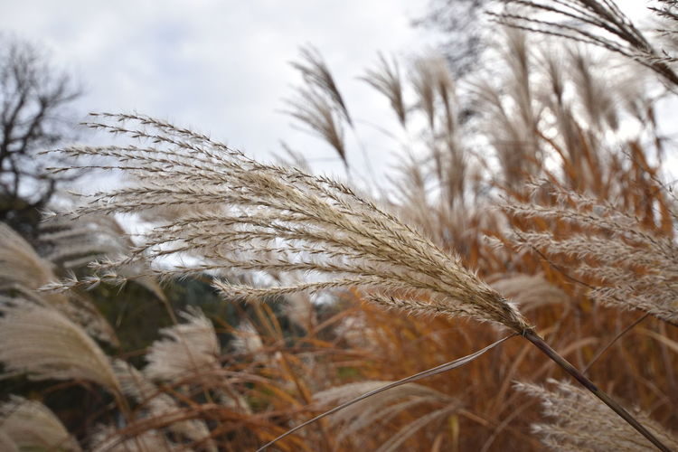 Agriculture Beauty In Nature Cereal Plant Close-up Crop  Day Ear Of Wheat Field Growth Nature No People Outdoors Plant Rural Scene Sky Wheat Tranquil Scene Windy Day EyeEm Gallery Check This Out! Soft Premium Collection Premium