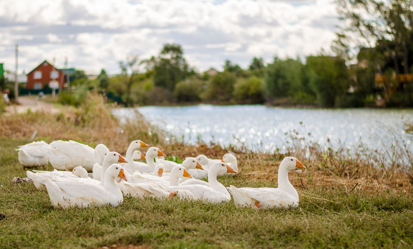 Geese resting on grassy lakeshore against sky