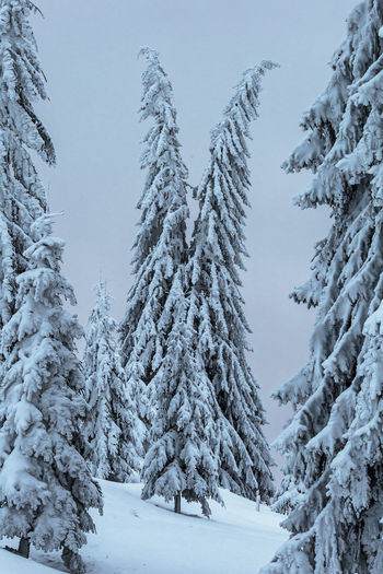 Snow covered pine trees against sky during winter