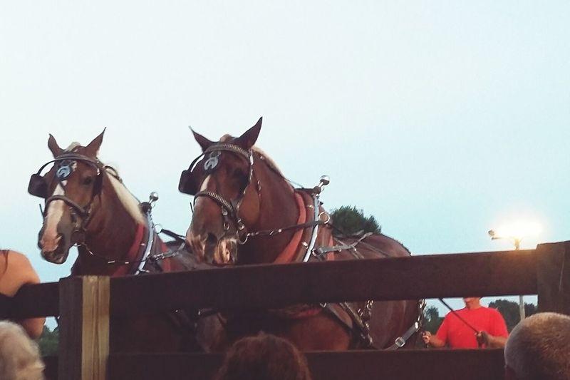 Draft Horses Two Is Better Than One Horse Pulls Pair Big Big Horses Animals Of Eyeem Horses Of Eyeem Strong Amazing Animals