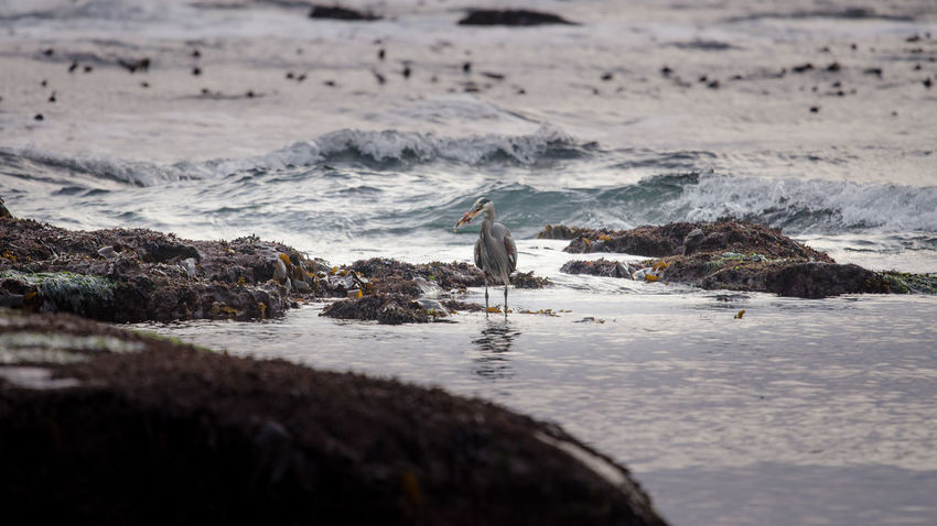 Animal Themes Animals In The Wild Beach Bird Day Great Blue Heron Intertidal Intertidal Zone Nature No People One Animal Outdoors Sea Water Wave