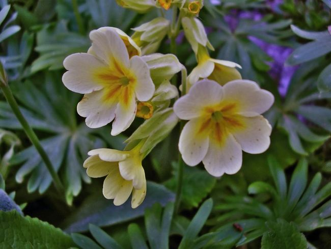 Yellow primula Plant Primula Yellow Yellow Flower Colors Garden Flowers Spring Has Arrived Beauty In Nature Blooming Flower Flower Head Growth Nature Petal Plant Spring Spring Flowers Springtime
