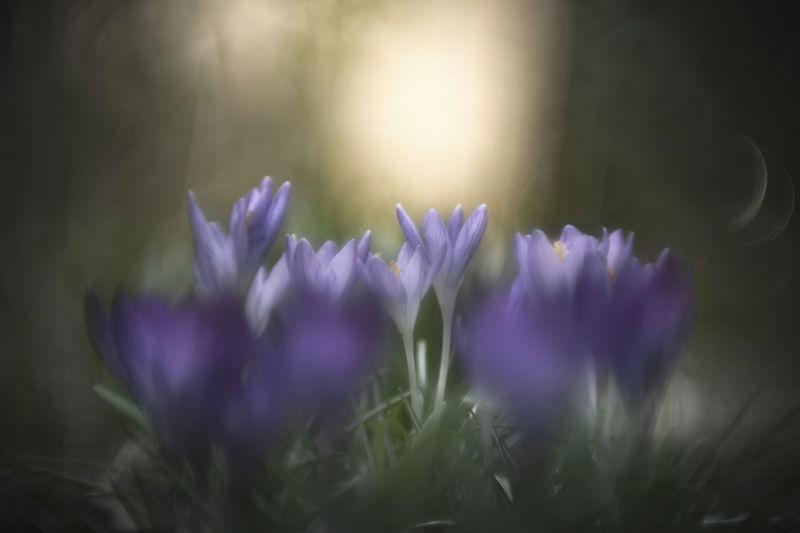 Crocus heuffelianus [Pentacon 100mm f/2.8] Crocus Crocus Flower Crocus Flowers Crocuses Purple Purple Flower Springtime Spring Spring Flowers Saffron Saffron Flowers Spring Crocus Springtime Decadence