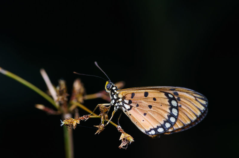 closeup shot of butterfly in nature Animal Animal Antenna Animal Body Part Animal Themes Animal Wildlife Animal Wing Animals In The Wild Beauty In Nature Black Background Butterfly Butterfly - Insect Close-up Flower Insect Invertebrate Nature No People One Animal Studio Shot