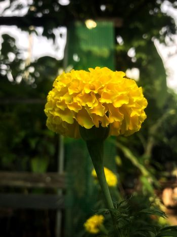 Flower Growth Yellow Beauty In Nature Fragility Nature Focus On Foreground Close-up Blooming Outdoors Light 🌼 🌼 🌼 🌼 🌼 🌼 Thailand