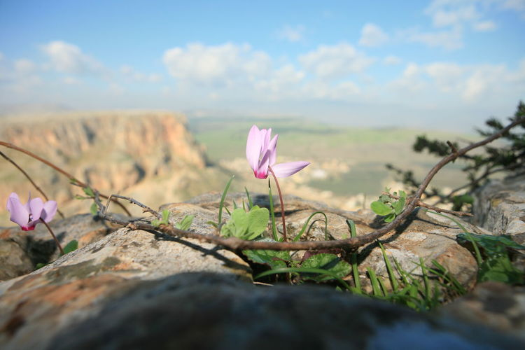 Amazing Landscapes of Israel, Views of the Holy Land Flower Flowering Plant Plant Beauty In Nature Pink Color Growth Nature Freshness Fragility Close-up Vulnerability  Sky Petal No People Day Tranquility Land Cloud - Sky Focus On Foreground Inflorescence Flower Head Outdoors Crocus