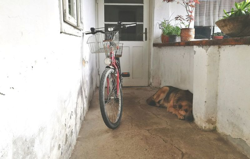 He got tired 🐶 Bicycle One Animal No People Pets Domestic Animals Animal Themes Day Mammal Built Structure Outdoors Architecture Fluffy Full Frame Furry Paw Dogslife Dog German Shepherd Cute Dog  Outdoors Photograpghy  White Color Dodge Cute Dog
