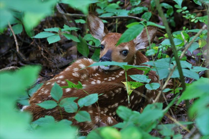 Baby Deer Animal Themes Animals In The Wild Beauty In Nature Close-up Day Fawn Hiding Mammal Nature No People One Animal Outdoors