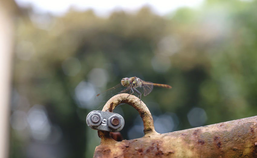 Close-up of dragonfly on rusty metal