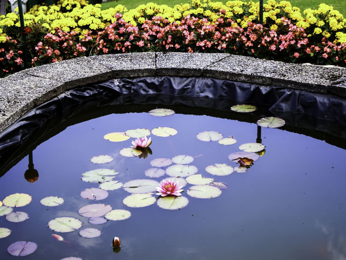 View of purple water lily in lake