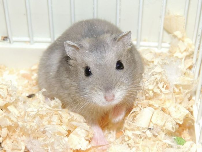 Hamster Hamster Love Animals One Animal Pet Mouse