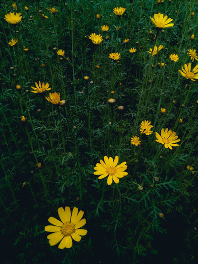 Pop out. Flower Head Flower Black-eyed Susan Yellow Leaf Petal High Angle View Springtime Close-up Grass Yellow Color Daisy Pollen Stamen Blooming Pistil In Bloom Wildflower Plant Life