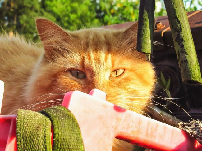 Light And Shadow Hiding In The Shadows Domestic Cat Pets Animal Themes Mammal Feline One Animal Domestic Animals No People Portrait Day Outdoors Nature Orange Tabby Cat Tom Cat Relaxation Laziness Attitude Emotion Cat Outdoors Wild Cat Hiding In Plain Sight Shadows & Lights Back Away !