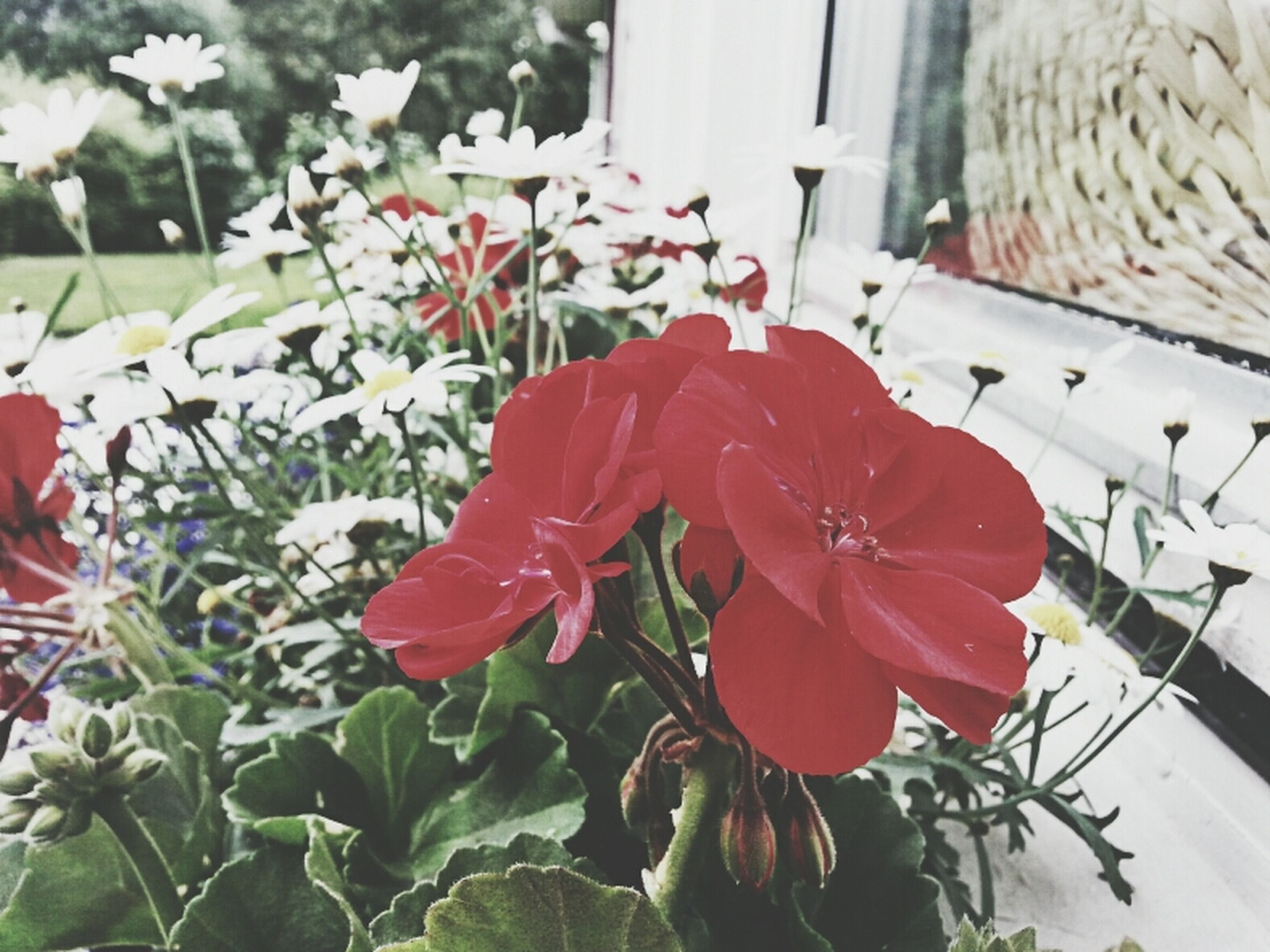 flower, petal, flower head, fragility, plant, freshness, growth, potted plant, beauty in nature, red, blooming, nature, close-up, leaf, day, focus on foreground, no people, front or back yard, in bloom, outdoors