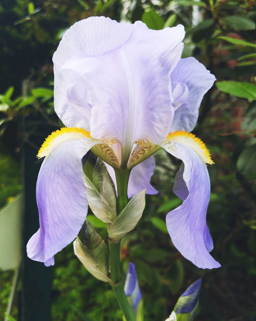 flowering plant, flower, petal, fragility, vulnerability, beauty in nature, freshness, plant, close-up, inflorescence, flower head, growth, iris - plant, purple, nature, focus on foreground, iris, day, no people