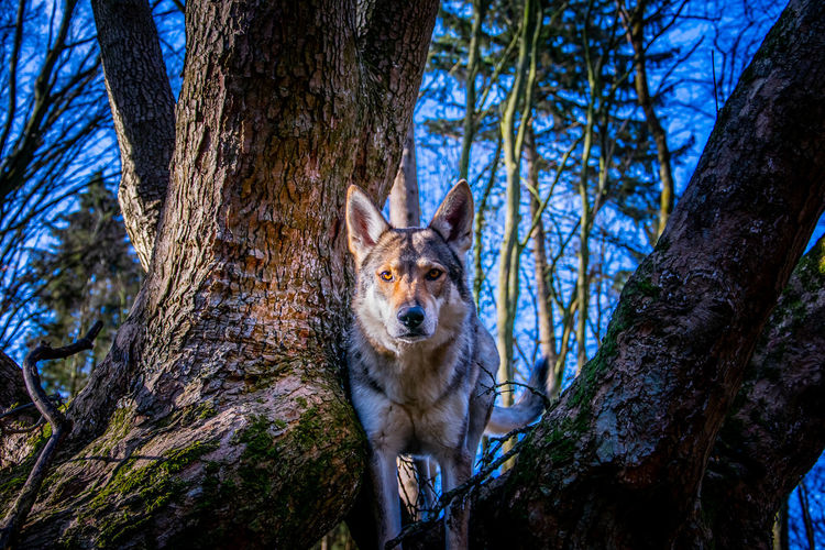 Aura the wolfdog Tree Trunk Mammal Tree Trunk Animal One Animal Animal Themes Plant Animal Wildlife Nature Animals In The Wild Forest Looking At Camera No People Vertebrate Portrait Land Day Branch Domestic Animals Outdoors WoodLand Wolf Hiking Wolfdog