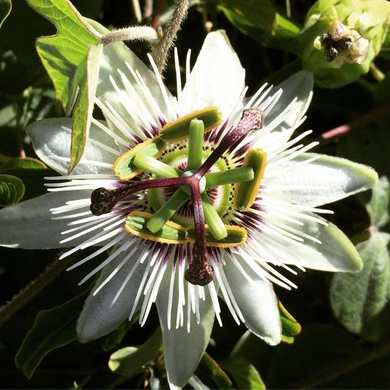 Flower Growth Fragility Petal Nature Beauty In Nature Freshness Flower Head Plant Day Stamen Close-up No People Pollen Springtime Outdoors Blooming Passion Flower Green Color