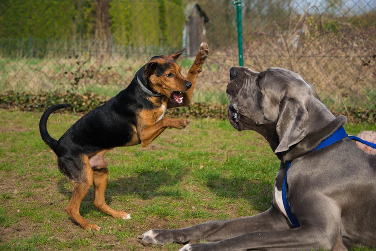 Two dogs in confrontation