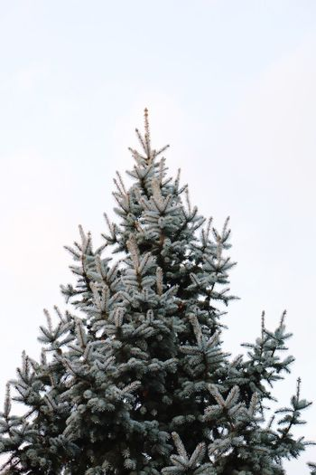Tree Nature Christmas Spruce Tree Winter Low Angle View Branch Outdoors No People Sky Treetop Day Needle - Plant Part Beauty In Nature Freshness Finding New Frontiers Shades Of Winter