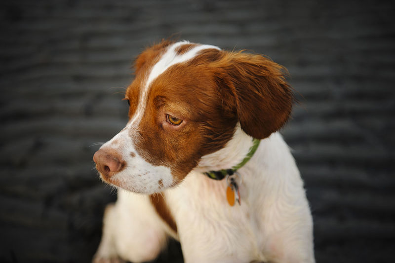 Brittany Spaniel Beach Brittany Canine Day Dog Nature No People Outdoors Pet Purebred Sand Spaniel