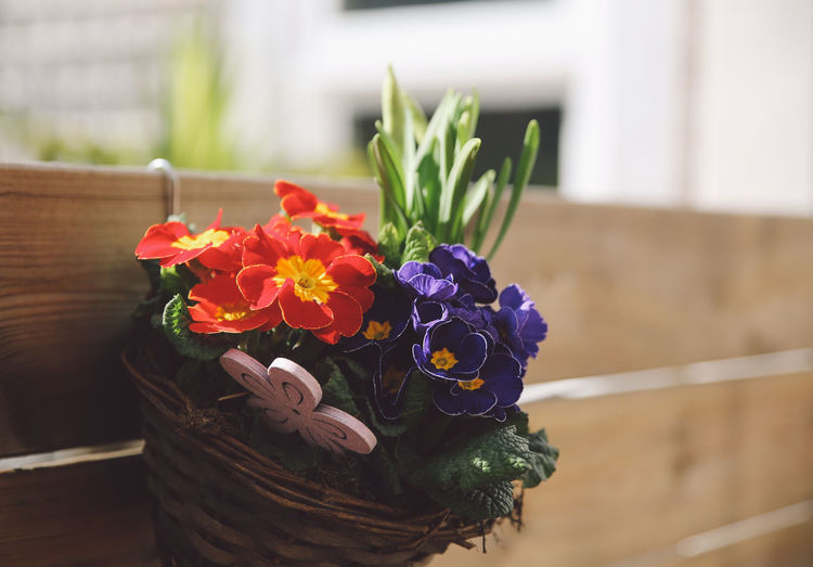 Close-up of primrose flowers in wicker basket hanging on wooden railing