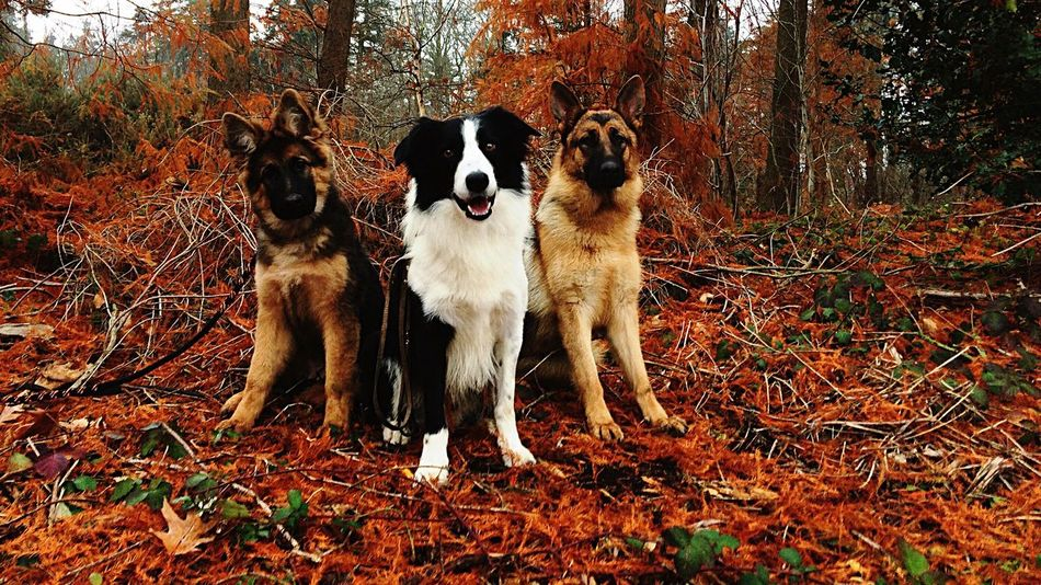 my beautiful boy and girls❤️ Animal Themes Dog Mammal Pets Domestic Animals No People Tree Outdoors Border Collie Nature Leaf Day Forest Wilderness Beauty In Nature Autumn German Shepherd Orange Color Daylight Sheperd Looking At Camera Pup Puppy