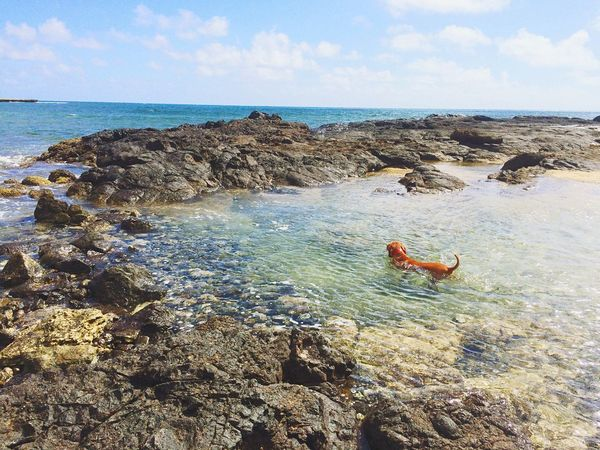 Vizsla Roxyvizsla Vizslaoftheday Sunshine Sea HiLife Doggyparadise Oahu, Hawaii