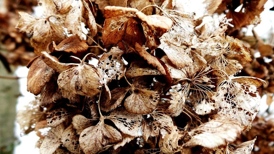 Nature Close-up Outdoors No People Plant Beauty In Nature Wilted Plant Large Group Of Objects Macro Beauty Dried Flowers Macro Photography Abstract Photography Abstract Nature Fragility Textured  Ephemeral Macro_collection Textures And Surfaces Backgrounds Full Frame Snow Winter Flowers,Plants & Garden Beauty In Nature Fragile Beauty