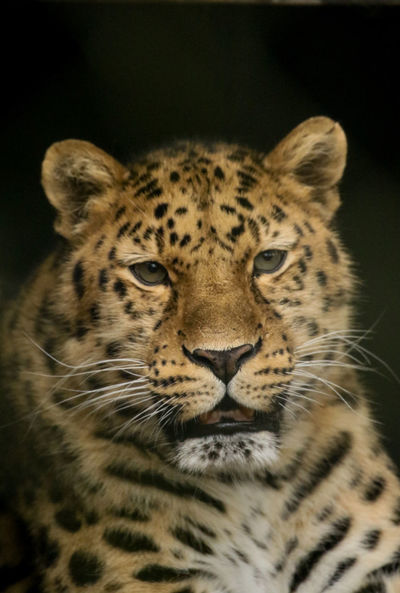 Animal Themes One Animal Mammal Looking At Camera Animals In The Wild No People Spotted Close-up Black Background Leopard Portrait Feline Outdoors Day